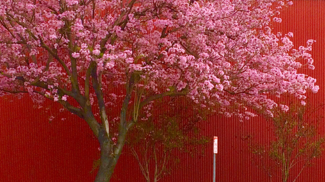 pink tree on red bkgd 01 1233px wide 16-9 ratio